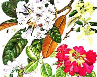 Rhododendrons - Botanical Print - Vintage Flower Print 1988 p103