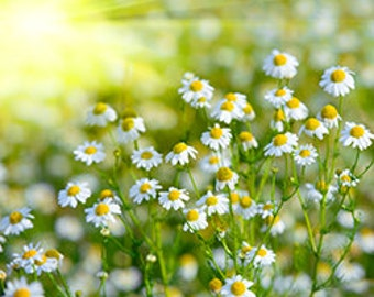 Chamomile Roman 100 % Pure Essential Oil