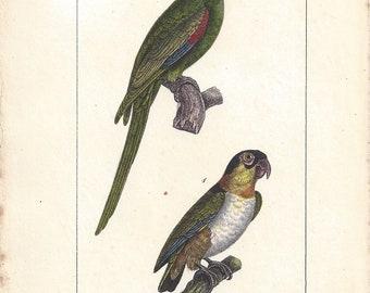 Parrots, original antique French parrot print, 1832