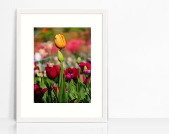 Multicolored Tulips Print Instant Download- Floral Photography- Nature Photography- Home Decor
