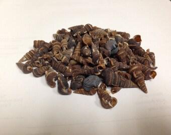 Black Auger Seashells (Bag)  (EA)