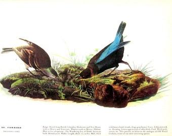 Audubon Cowbird, Tree Swallow - Bird Print -12 x 9 - Vintage Print 1942