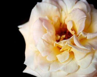 Rose Photo Art - Creamy White and Pink Rose Photograph - Garden and Nature Wall Art - Lush Golden Bloom - Beautiful Flower Blossom - Calming