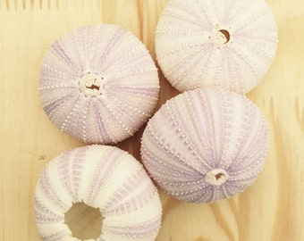 Purple Sea Urchin Shell/Test