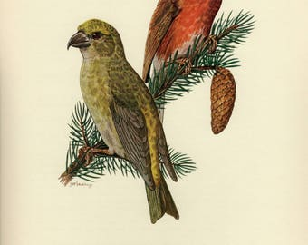 Vintage lithograph of the red crossbill or common crossbill from 1953