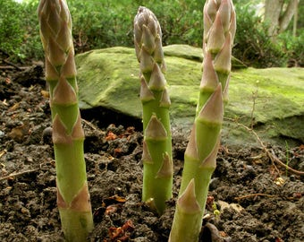 100pcs MARY WASHINGTON ASPARAGUS Seeds Organic Non-Gmo