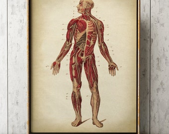 ANATOMY PRINT, Muscular System, Anatomy Poster, Anatomical Drawing, Scientific Illustration, Medical Wall Art, Anatomy chart