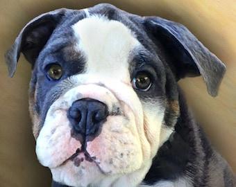 Custom Dog Portrait 8 x 8 Bulldog on stretched or mounted canvas