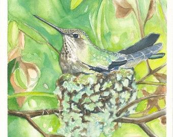 Nesting Anna's Hummingbird  Watercolor