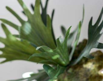 Staghorn Fern Plant - Artificial Plant, Staghorn Platycerium, Fake Plant, Wall Plant, Hanging Plant, Plant for Hanging Basket