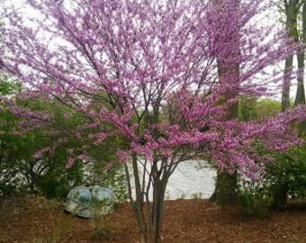 Red Bud Tree 2-3'