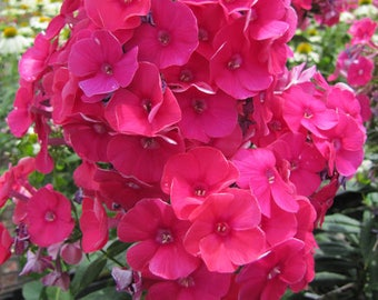 Phlox 21st Century Red F1 10 Seeds- Outstanding, long blooming