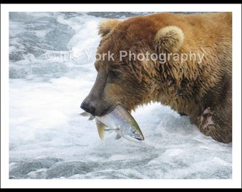 Close-up Brown Bear Catching Salmon in Katmai National Park Alaska, Fishing, Wildlife, Animal Print, Nature,  Art