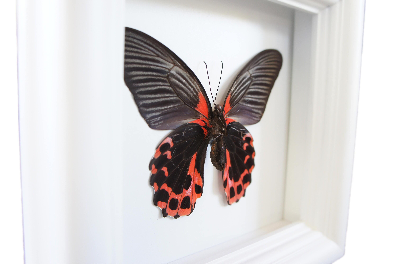 Echter Schmetterling im Schaukasten Rahmen Schmetterling