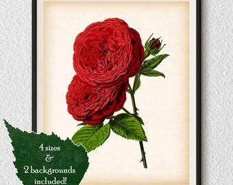 Rose print, Rose wall art, Rose printable print, Botanical Illustration, Rose art print, Flower art, Digital art print, 8x10, 11x14, A3, #54