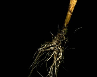 Red CABBAGE root II //  scanography / botanical / kitchen wall art / root sculpture