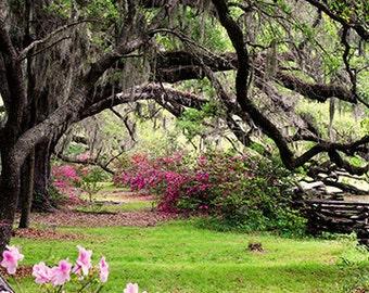 Tree Photography- Oak Tree Photo, Magnolia Plantation South Carolina, Live Oaks Spanish Moss, Pink Azaleas, Live Oak Print, Nature Print