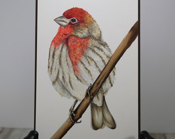 House Finch Digital coloring image