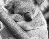 SLEEPY KOALA Photo, Black...