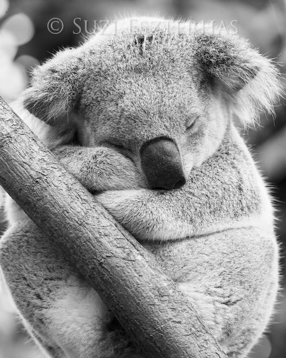 Black And White Koala Pictures