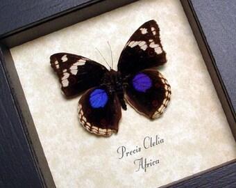 Real Framed Precis Clelia Purple Spot Butterfly 8130