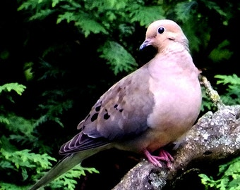 Bird Photo of Mourning Dove,Picture of Bird,Photograph of Dove,Bird Photography,Bird Photo,Mourning Dove in Tree,Grey Bird Photography,Dove