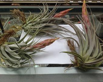 Correalei  X  (Fasciculata X Hondurensis (Hybrid) (Live Air Plant (EA)