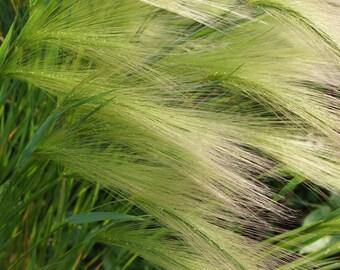 Hordeum jubatum (Squirreltail Grass) [15 seeds]