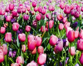 Tulips - Image 1953