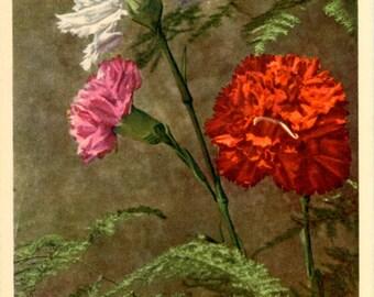 Garden Pink Dianthus Vintage Flower Postcard - Botanical Art for Framing