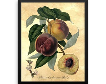 Vintage 1812 Botanical Peach Wall Art Print - Peach Illustration - Peach Art - Peach Tree - Fruit Art- Kitchen Art-Farmhouse Decor