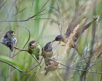 Bug for Barn Swallow, Barn Swallow Family, Feeding Time for Barn Swallow