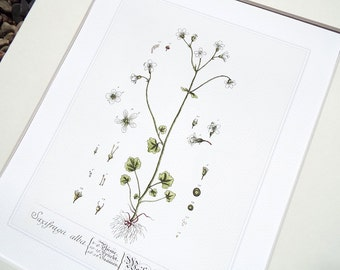 Saxifraga Herb Botanical Illustration Archival Print on Watercolor Paper