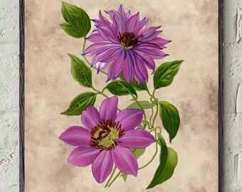 Botanical flower print, Clematis flower print, Clematis, flower, 1896, Vintage, DIGITAL DOWNLOAD