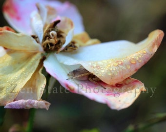 Rose Photo. Flower Photography Print. Macro Photography. Autumn Rose Wall Hanging. Unframed Photo, Framed Photography, or Canvas Print.