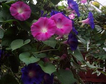 Live Plants, Morning Glory, 9 healthy plants for your wall or fence, Organic