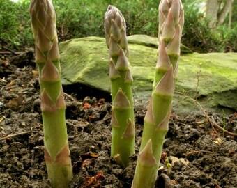 Mary Washington Asparagus Seeds - 10+ Rare Non-GMO Organic Heirloom Vegetable Garden Seeds