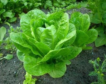 Greek lettuce seeds, organic seeds, non gmo seeds, heirloom gardening,heirloom lettuce seeds,131, greek seeds