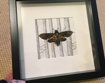 Framed Death's Head Hawk Moth