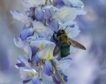 Bee on Blue Wisteria-Flower Garden-Photography-Wall Art-Fine Art Print-Home Decor