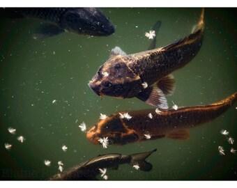 Koi, Wall Art, Fish, Nature Photography,