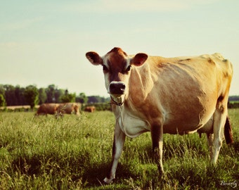 Jersey cow, farm, country life, green, tan, fine art photography print