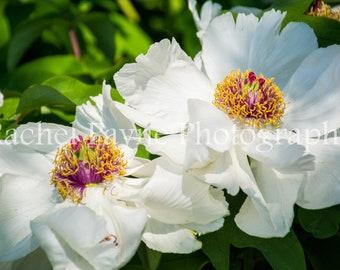 White Blossoms - Original Photograph