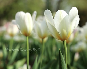 White tulips print, from front ground angle, flower photography, nature, floral wall art, soft color, soothing decor, fine art print