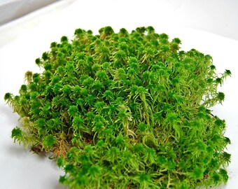 Live Sphagnum moss, for a terrarium, vivarium or frogs. For fairy garden or miniature garden. orchids, decor, interior,