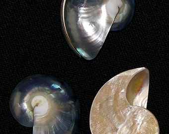 "Nautilus Pompilius Pr.~1-1/2"" Natural Blue Osmena Pearl~Inner layer Shell from a Chambered Nautilus~Seashell Jewelry Supply~Free Shipping"
