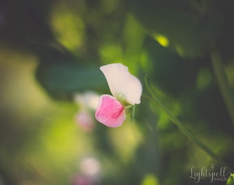 Pink Flower Photograph, Nature Photo, Wall Decor, Botanical Print, Floral Wall Art, Pink, Green, Sweet Pea, Fine Art Photography, Spring