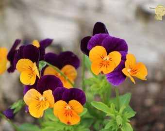 Macro Photography, Custer of Butter Yellow and Purple Duo Tone Pansies, Bringing Nature inside with Zen Wall Hangings Home Decor