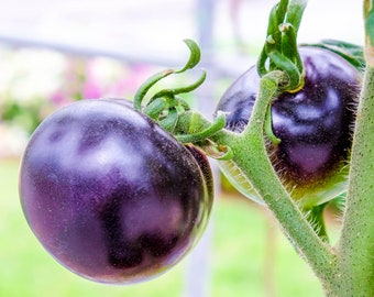 Purple Tomato 10 Seeds - No GMO