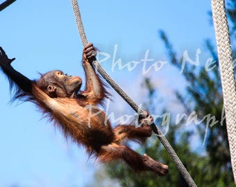Baby Orangutan Fine-Art Photography - Animals - Nature - Great Apes